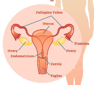 An illustration of the female reproductive organs