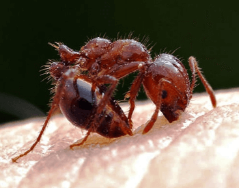 A picture of a red fire ant stinging a human