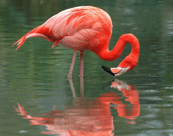 A photo of a flamingo in the water