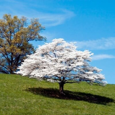 A Picture of a Dogwood Tree