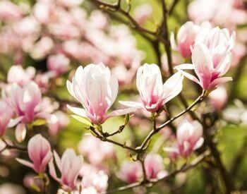 A picture of pink flowers on a magnolia tree
