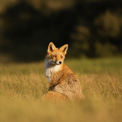 A Picture of a Fox