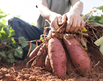 A picture of freshly harvested sweet potatoes