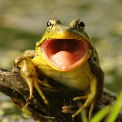A Picture of a Frog