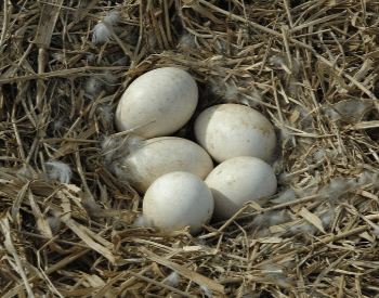A picture of geese eggs