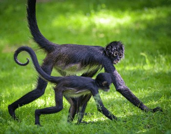 A picture of a Geoffroy's spider monkey (Ateles geoffroyi)