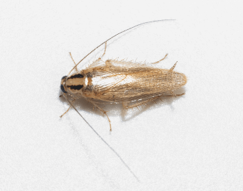A picture of a German Cockroach (Blattella germanica)