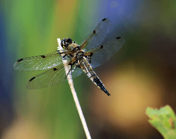 A photo of a golden-ringed dragonfly (Cordulegaster boltonii) dragonfly