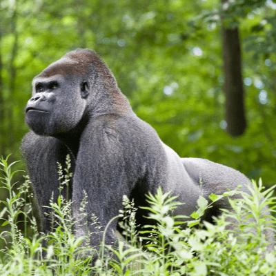 A Picture of Gorilla