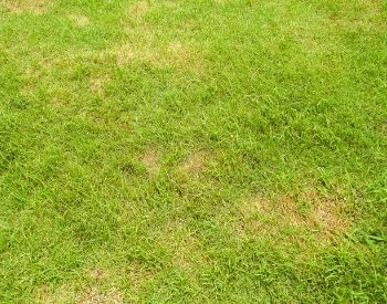 A picture of grass dying because of pests