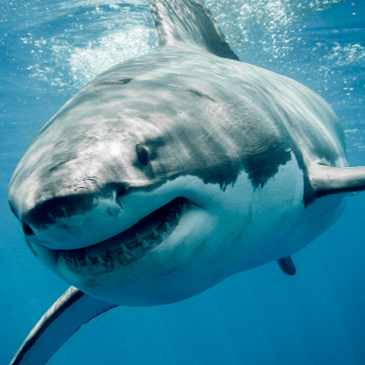 A Picture of a Great White shark (Carcharodon carcharias)