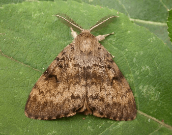 A photo of a gypsy moth (Lymantria dispar) adult
