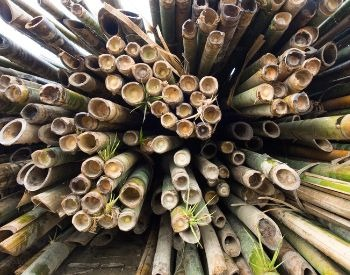 A picture of bamboo harvested for human use