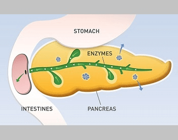 A diagram showing how the human pancreas works