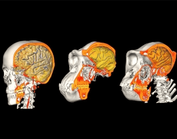 A image comparing the brain size of humans to primates