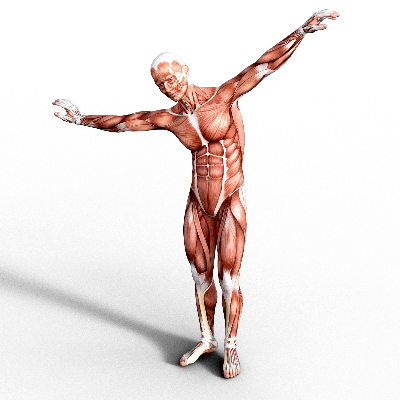 A Picture of Human Muscles