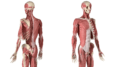 Muscular System Facts for Kids