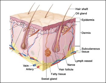 A diagram of the many different layers of skin