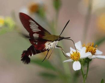A photo of a hummingbird moth feeding