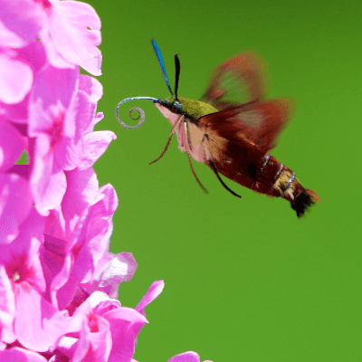 A Picture of a Hummingbird Moth