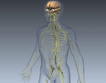 A 3D illustration of the human nervous system