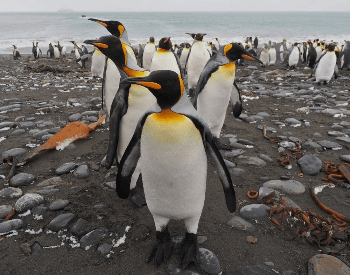 A picture of an King Penguin (Aptenodytes patagonicus)