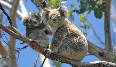 Koala Facts for Kids