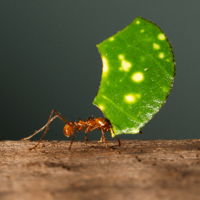 A Picture of a Leafcutter Ant