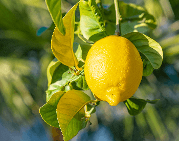 A close-up picture of a lemon on a lemon tree