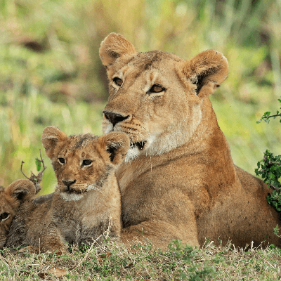 A Picture of Lions