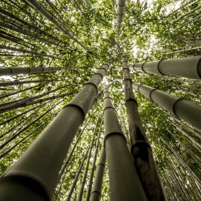 A Picture of Bamboo