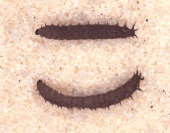 A picture of two love bug larva up close