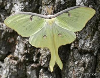 A photo of a luna moth on a tree