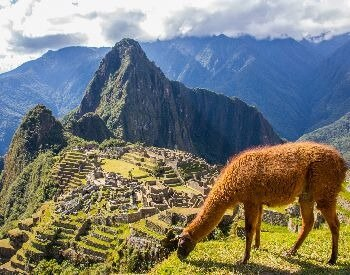 A picture of Machu Picchu with a brown llama in the foreground