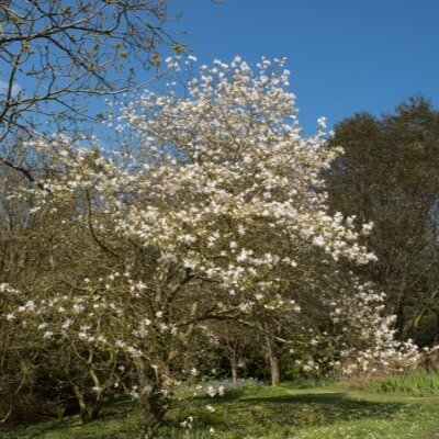 A Picture of a Magnolia Tree