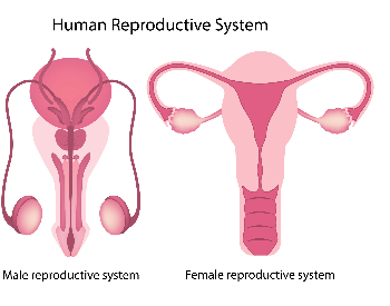 A picture of the male and female reproductive system