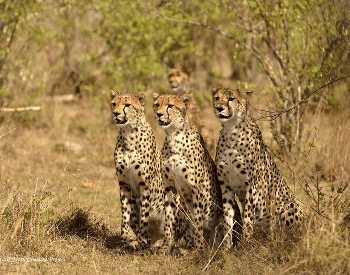 A picture of a cheetah coalition