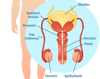 An illustration of the male reproductive organs