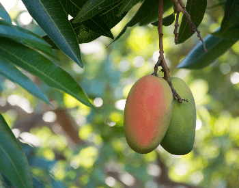 A picture of mangos on a tree
