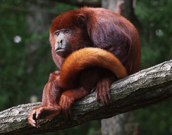 A picture of a mantled howler (alouatta seniculus)
