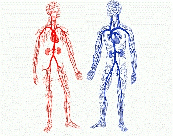 A diagram showing the arteries and veins of the human body, red is oxygenated, blood is deoxygenated