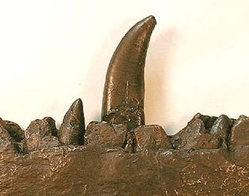 A picture of a replica Megalosaurus tooth
