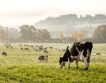 A picture of milk cows grazing in a field