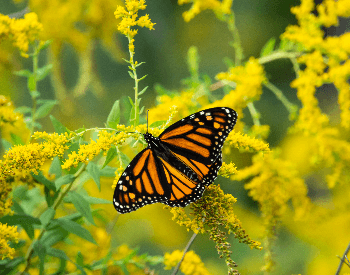 A picture of a Monarch Butterfly (Danaus plexippus)