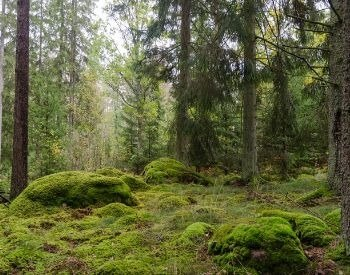 A picture of moss in a forest