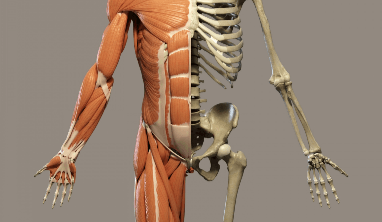 A diagram that shows how muscles look over the human skeleton