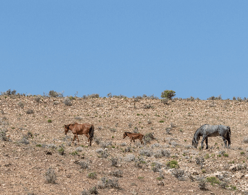 A picture of mustangs (feral horeses) grazing in a desert