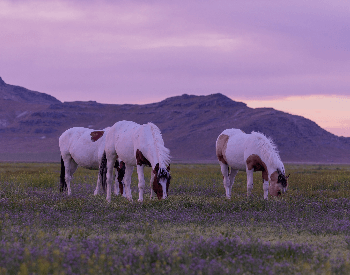 A picture of mustangs (feral horeses) grazing in a field
