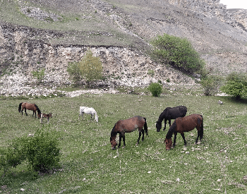 A picture of mustangs (feral horeses) grazing on a mountain