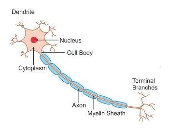 A diagram showing the structure of a human nerve cell